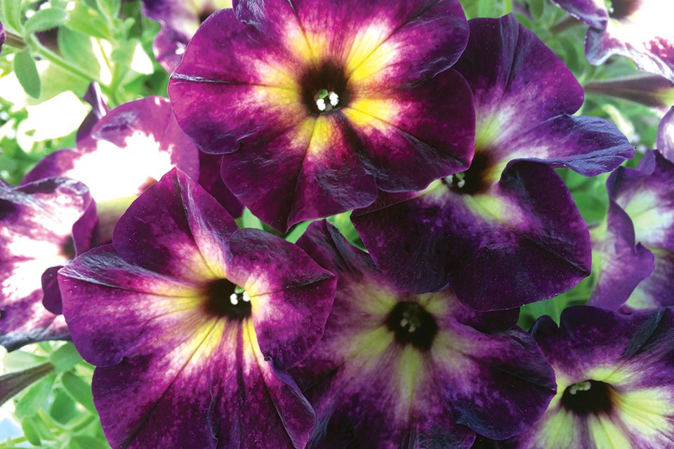 Welby Gardens Names Top Selections From Its Trial Gardens Greenhouse Grower