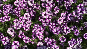 Petunia 'Supertunia Violet Star Charm' (2015 University of Georgia Field Trials)