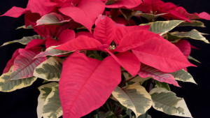 Tips On How To Prevent Aerial Blight Spread In Poinsettias