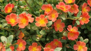Portulaca 'Mojave Tangerine' (2015 J.C. Raulston Arboretum Field Trials)