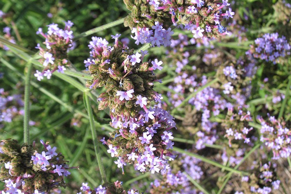 Verbena bonariensis 'Pompous Purple' (2015 Missouri Botanical Garden Field Trials)