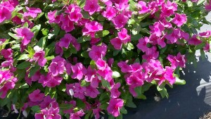 Vinca 'Valiant Lilac' (2015 Texas A&M University Field Trials)