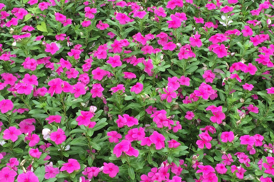 Vinca 'Valiant Lilac' (2015 University of Tennessee Field Trials)
