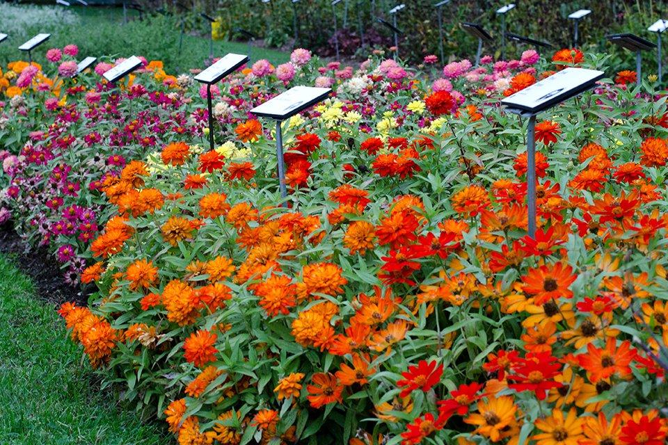 Zinnia Zahara Collection (2015 Massachusetts Horticultural Society Field Trials)