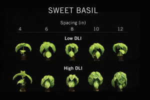 Figure 1. Sweet basil grown on 4- to 12-inch-centers spacing under low (~6 mol∙m−2∙d−1) or