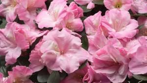 Azalea 'Romance' (Aris Keepsake Plants)2