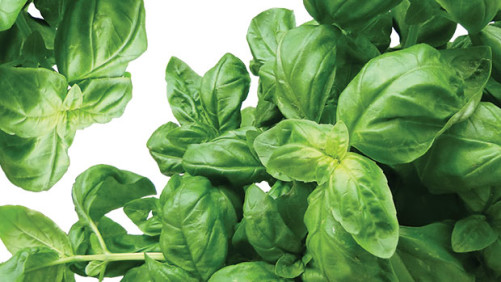 Managing Air Temperatures For  Basil Growth And Development