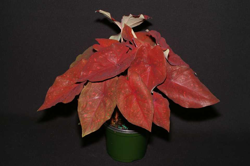 Caladium 'Burning Heart' (Abott-Ipco)