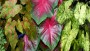 Caladium Painted Frog Series (Plants Nouveau)