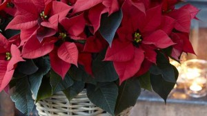 Beekenkamp And Danziger Partner To Distribute Poinsettias In North America