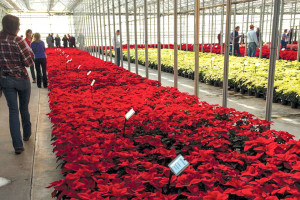 Even with a greenhouse full of beautiful blooms and consistent successes, the Millstadt Young Plant poinsettia trials continue to offer new challenges and opportunities each year