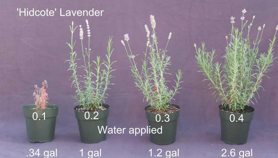 Figure 1. 'Hidcote' Lavender