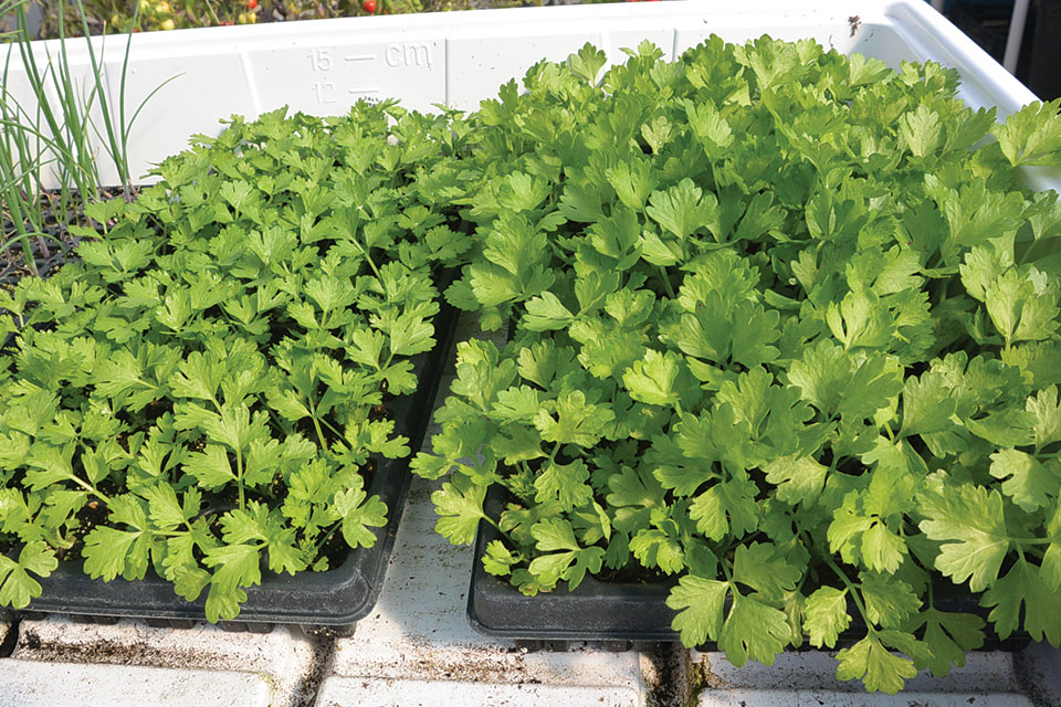 Figure 1. Difference in cultivar growth after 62 days for 'Tall Utah' (left) and 'Tango' (right)