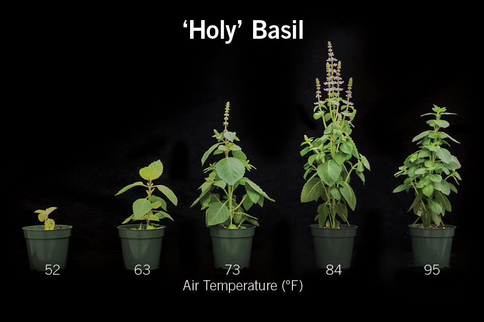 Figure 1 'Holy' Basil