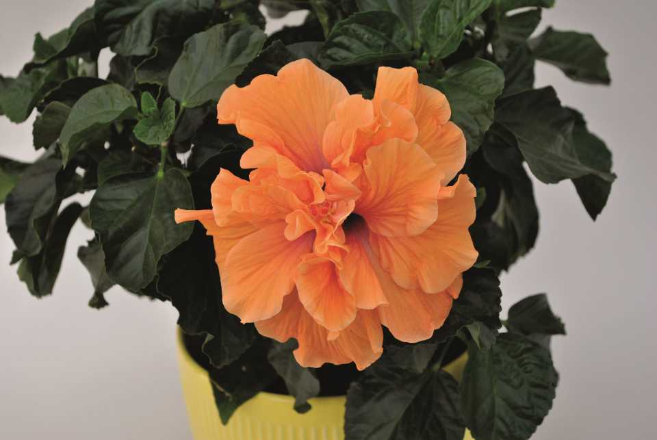 Hibiscus 'H2 Bali Sunrise' (Aris Keepsake Plants)