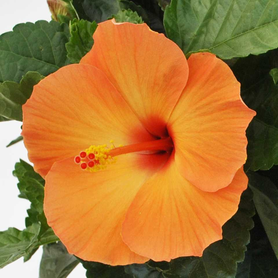 15 flowering foliage and tropical plants for the home and garden 15 flowering foliage and tropical plants for the home and garden greenhouse grower izmirmasajfo Gallery