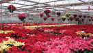 Mitchell's Nursery & Greenhouse first caught the poinsettia bug in 1996, but the operation didn't begin trialing the plant until 2004