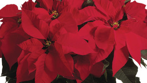 Poinsettia Survey Shows Strong Sales For Greenhouse Growers In 2015