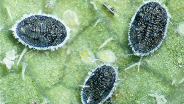 The beneficial parasitoid Encarsia formosa feeding on greenhouse whitefly
