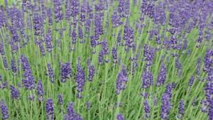 Manage Soil Moisture For  Proper Irrigation Of English Lavender