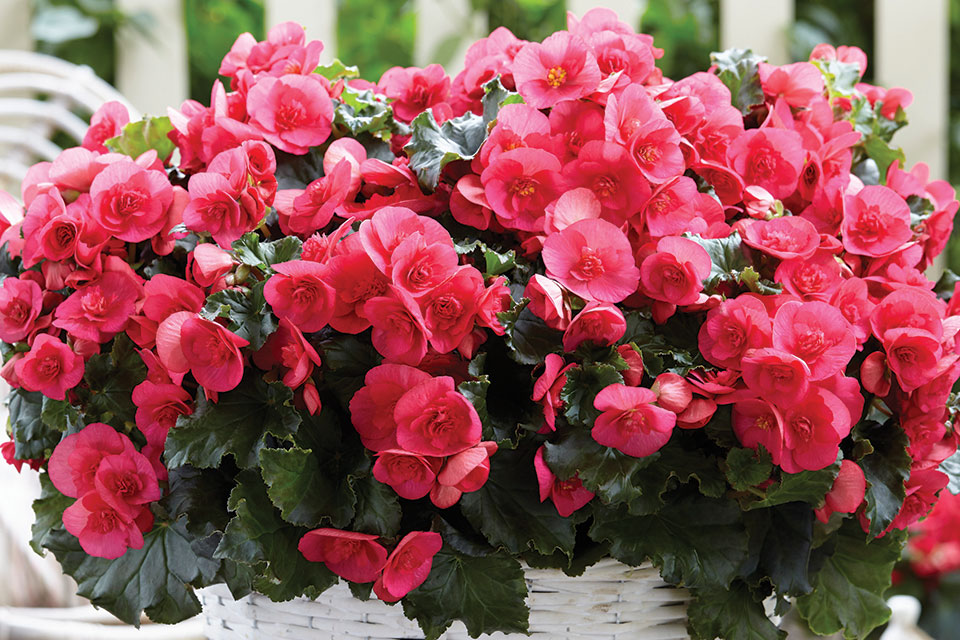 Get A Glimpse At New Annuals For 2017, Debuting At California Spring Trials