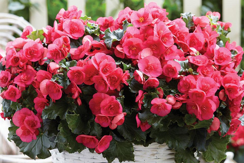 07 Begonia Evi Bright Pink