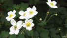 2016 Perennial Plant Of The Year Anemone 'Honorine Jobert'