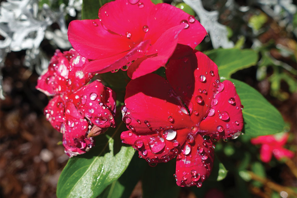 Botrytis can develop on flowers and foliage that are kept constantly wet, such as on the flowers of this catharanthus