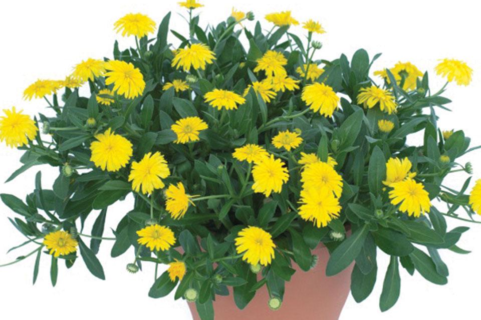 Calendula 'Power Daisy'