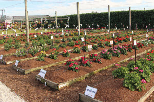 Costa Farms' Trial Gardens mimic spring garden conditions across the U.S. to test the metal of new varieties