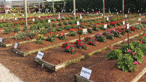 Costa Farms' Trial Gardens mimic spring garden conditions across the U.S. to test the metal of new varieties - Feature