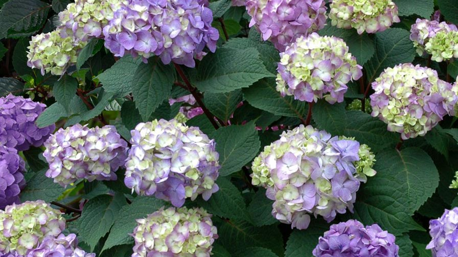Bailey nurseries develops program that texts plant care tips for endless summer hydrangeas - Care potted hydrangea ...