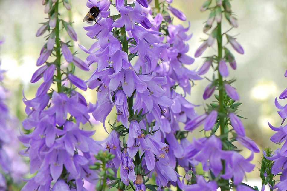Adenophera Gaudi Violet