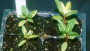 Black Root Rot on Vinca