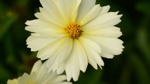 Coreopsis-UpTickCream-19793-DarwinPerennials