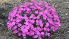 Dianthus Paint the Town Fuchsia_CJW14 (2)