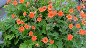 Geum RUSTICO™ Orange - Terra Nova Nurseries, March 2016