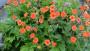 Geum RUSTICO™ Orange - Terra Nova Nurseries, March 2016