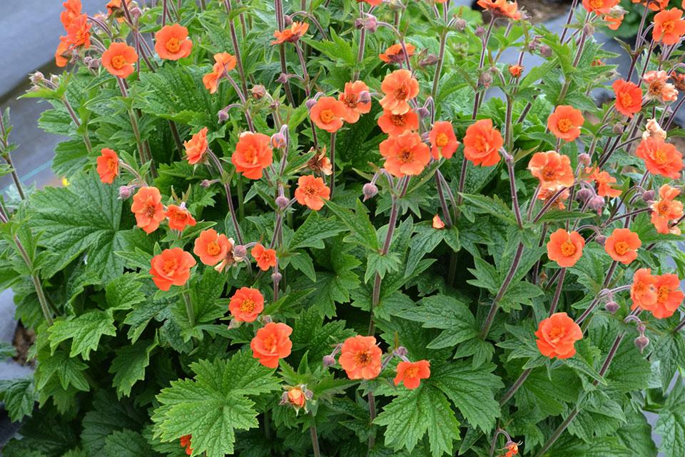 Terra nova nurseries breeds plants with the end consumer in mind geum rustico orange terra nova nurseries march 2016 mightylinksfo