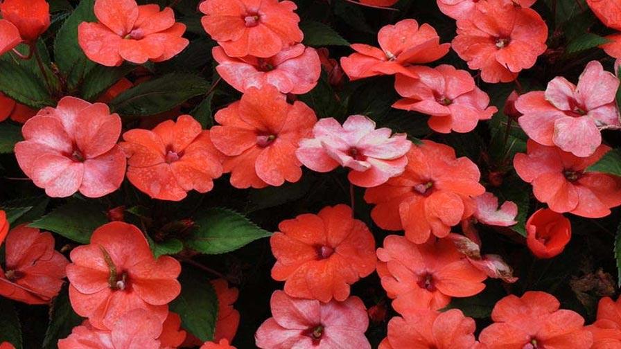 P Allen Smith Says Sunpatiens Are Hero Plants For