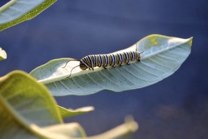 Natureworks Monarch life cycle caterpillar FEATURE