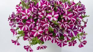 "Danziger ""Dan"" Flower Farm Breeding Focuses On Market Alignment, Grower Success"