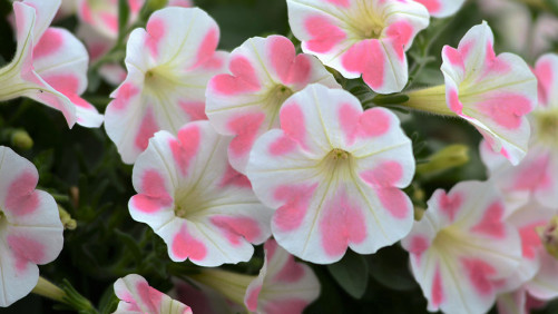 California Spring Trials Central Region Preview: More New Annuals For 2017