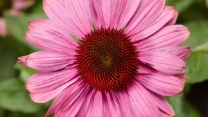 PrairieSplendor_CompactRose Syngenta Flowers March 2016