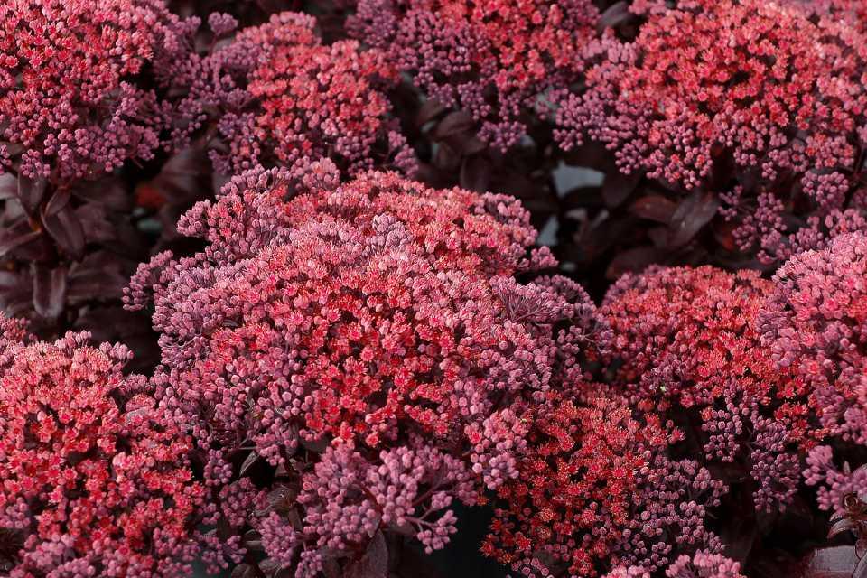 Sedum 'Dark Magic' (Terra Nova Nurseries)