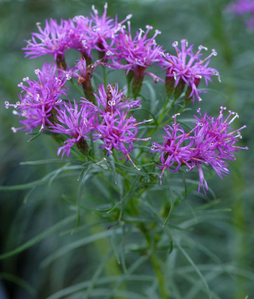 Vernonia lettermannii 'Iron Butterfly' from North Creek