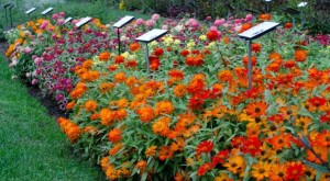 Zinnia-Zahara-Collection-2015-Massachusetts-Horticultural-Society-Field-Trials FEATURE