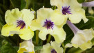streptocarpus yellow blue eye, green fuse botanicals, march 2016