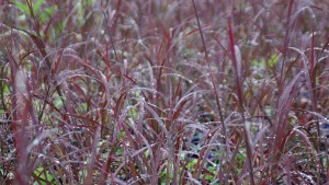 Know Your Market When Choosing Ornamental Grasses