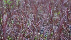 Andropogon gerardii Blackhawks (Intrinsic Perennial Gardens)